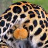 До невозможного прекрасные яйца яванского леопарда