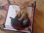 Cats boxing,Animals,,Kattunge  , Бокс котят