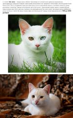 3-е место: Као-мани - порода кошек тайского происхождения, которая имеет древнюю родословную, насчитывающую несколько столетий. Самое ранее упоминание о них находится в Татга Маеуу, или в Кошачьей Книге Поэм (1350-1767 гг.). В древнем Сиаме као-мани жили только в королевских семьях, и считалась сим