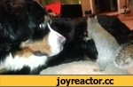 Squirrel hides his nut in the fur of a Bernese Mountain dog