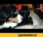 Squirrel hides nuts in a Bernese Mountain dog (as seen on Ridiculousness),Animals,,Our pet Squirrel, Wally,  hides his nut in the fur of our Bernese Mountain dog Jax.