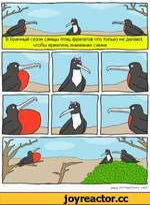 сезон самцы птиц-фрегатов что только не делают, чтобы привлечь внимание самки. WWW FATAWFSOMf СОАЛ