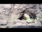 Суслик (Gopher),Animals,,Побег из норы.  Escape out of the burrow. Няшный суслик прикольный суслик умора