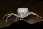 Белый паук