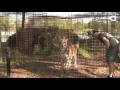 Почему не стоит поворачиваться спиной к большим кошкам,People & Blogs,,