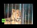 В мини-зоопарке Гюмри бросили животных на произвол судьбы,News & Politics,rt,видео,Армения,Гюмри,зоопарк,олигарх,лев,львицы,кошки,животные,медведи,питомцы,голод,страдания,мучения,живодеры,зоозащитная организация,живой уголок,В армянском городе Гюмри на произвол судьбы оказались брошены три льва и дв