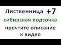 Лиственница +7. Сибирская подсочка,Nonprofits & Activism,Лиственница,+7,плюс 7,Сибирская,подсочка,газета,реклама,препара