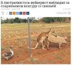 В Австралии гусь-вуйаерист наблюдал за спариванием кенгуру со свиньёй 2* / DDDDDD