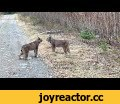 Two Lynx in Ontario Have Intense Conversation,Entertainment,storyful,news,viral,lynx,Ontario,Dinorwic,animal,nature,wilderness,To use this video in a commercial player or broadcast, contact licensing@storyful.com  Credit:   Edward Trist via Storyful Original video: