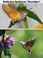 """Бабочка бражник """"Колибри"""""""