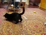 Cat plays with Hermelin Спарринг горностая и кота,Animals,,