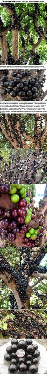 Жаботикаба-дерево с плодами, растущими из ствола Это дерево выделяется из всего растительного многообразия Южной Америки тем, что оно вечнозеленое и у него прямо на стволе вырастают съедобные плоды. Сегодня, жаботикабу можно обнаружить не только в Южной Америке, но и в Азии Сам плод в диаметре со